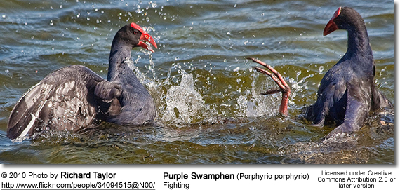Purple Swamphen (Porphyrio porphyrio) - fighting