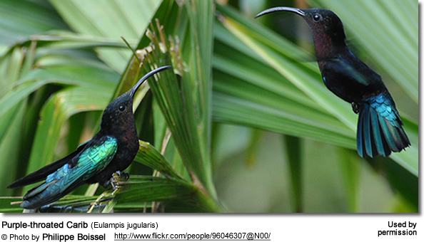 Purple-throated Carib (Eulampis jugularis)
