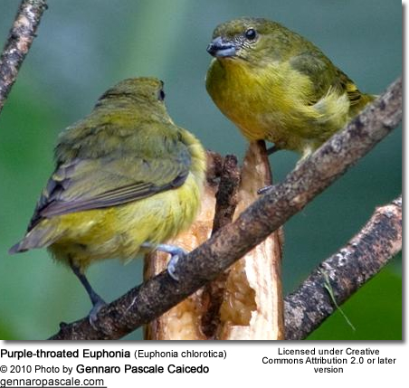 Purple-throated Euphonia (Euphonia chlorotica)
