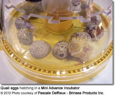Quail eggs hatching in a Mini Advance Incubator