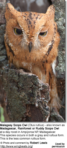 Malagasy Scops Owl (Otus rutilus) - also known as Madagascar, Rainforest or Ruddy Scops Owl