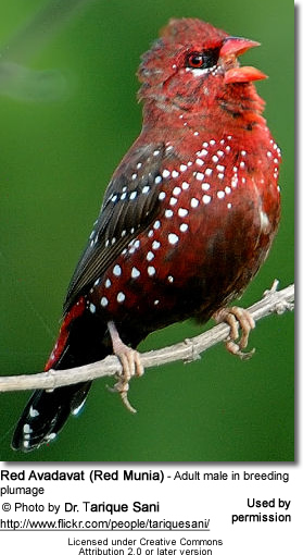 Red Avadavat (Red Munia) - Adult male in breeding plumage
