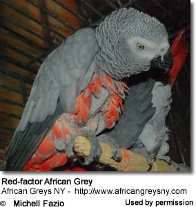 Red-factor African Grey