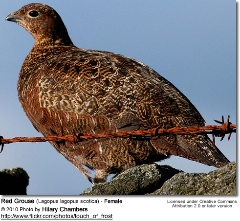 Red Grouse (Lagopus lagopus scotica)