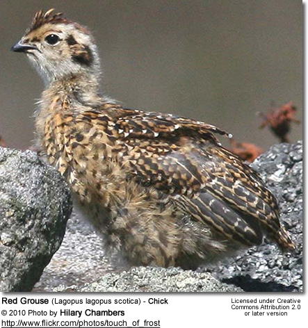 Red Grouse (Lagopus lagopus scotica) - Chick