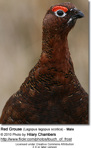 Red Grouse (Lagopus lagopus scotica) - Male