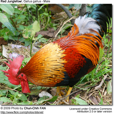 Red Junglefowl - Introduced Species