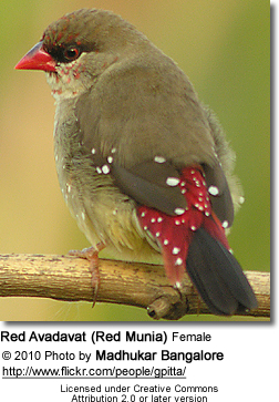 Red Munia or Strawberry Finch or Red Avadavat (Amandava amandava)