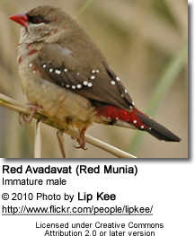 Red Avadavat (Red Munia) - Immature Male
