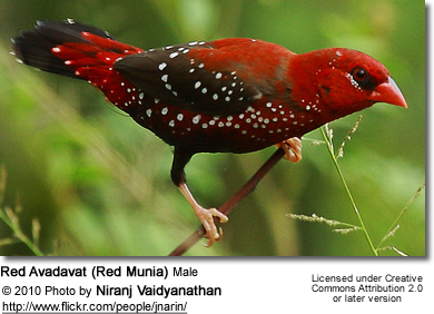 Red Avadavat (Red Munia) Male