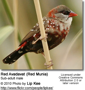 Red Avadavat (Red Munia) - Sub-adult male