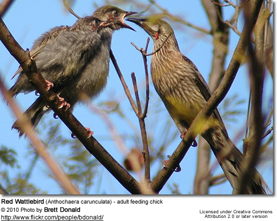 Red Wattlebird (Anthochaera carunculata) - adult feeding chick