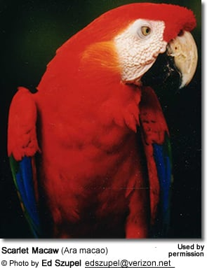 Red-and-green Macaws or Green-winged Macaws (Ara chloroptera)