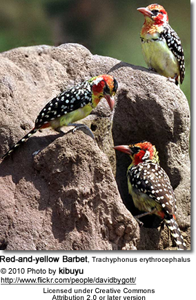 Red-and-yellow Barbet, Trachyphonus erythrocephalus