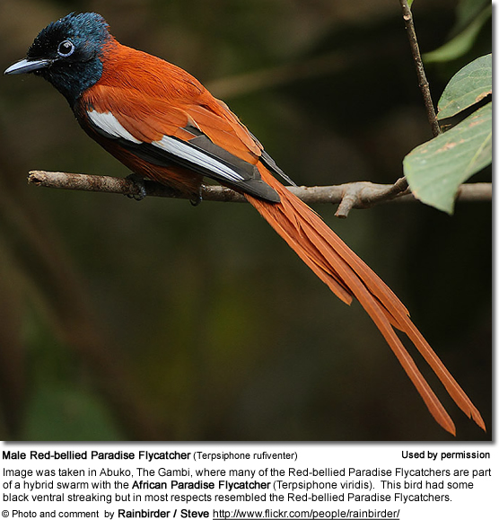 Red-bellied Paradise Flycatcher (Terpsiphone rufiventer)