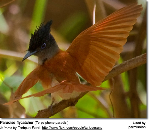 Red-bellied Paradise Flycatchers (Terpsiphone rufiventer) - Adult feeding hungry chick