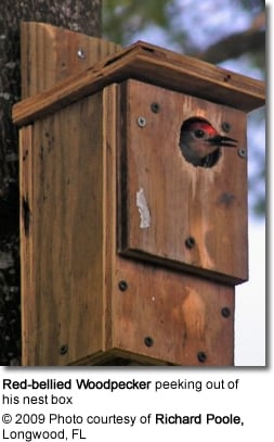 Red-bellied Woodpecker peeking out of his nest box