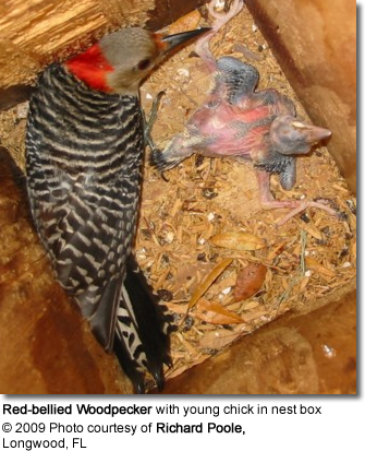 Red-bellied Woodpecker with young chick in nest box