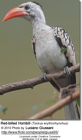 Red-billed Hornbill (Tockus erythrorhynchus)