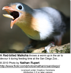 Red-billed Malkoha throws a worm up in the air to devour it during feeding time at the San Diego Zoo...