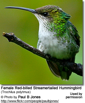 Female Red-billed Streamertail (Trochilus polytmus) - Female