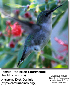 Female Red-billed Streamertail (Trochilus polytmus) Female