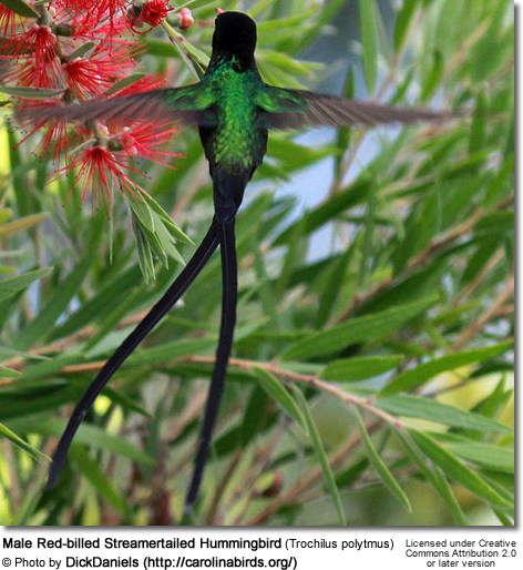 Male Red-billed Streamertailed Hummingbird (Trochilus polytmus)