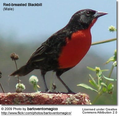 Red-breasted Blackbill