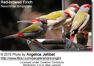 Red-browed Finch Neochmia temporalis