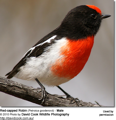 Red-capped Robin (Petroica goodenovii) - Male
