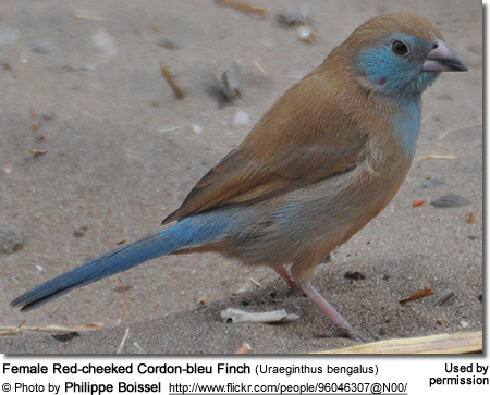 Female Red-cheeked Cordon-bleu Finch (Uraeginthus bengalus)