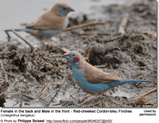 Female in the back and Male in the front - Red-cheeked Cordon-bleu Finches