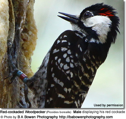 Red-cockaded Woodpecker (Picoides borealis)