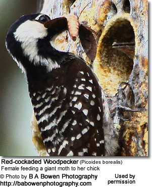 Red-cockaded Woodpecker (Picoides borealis) - Female feeding a giant moth to her chick