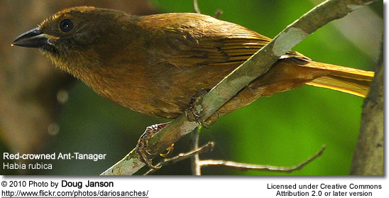 Red-crowned Ant-Tanager, Habia rubica