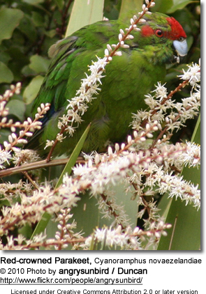 Red-crowned Parakeet, Cyanoramphus novaezelandiae