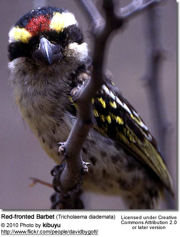 Red-fronted Barbet (Tricholaema diademata)