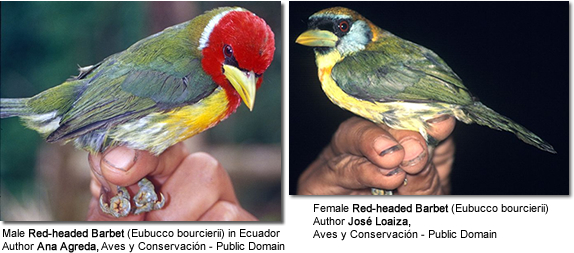 Red-headed Barbet (Eubucco bourcierii) - Left male, right female