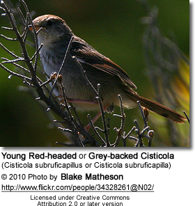 Red-headed Cisticola