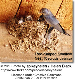 Red-rumped Swallow Nest (Cecropis daurica)