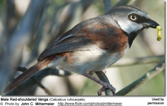 Red-shouldered Vanga (Calicalicus rufocarpalis)