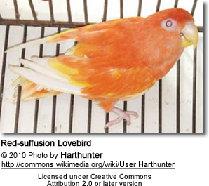 Red-suffusion Lovebird