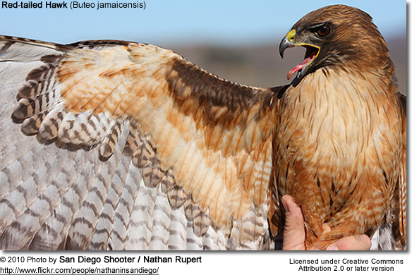 Red-tailed Hawsk
