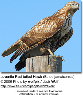 Juvenile Red-tailed Hawk (Buteo jamaicensis)