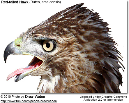 Red-tailed Hawk (Buteo jamaicensis) - head detail