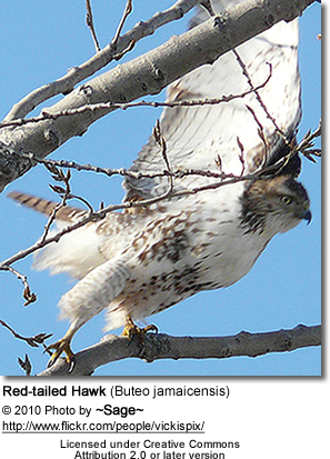 Red-tailed Hawk (Buteo jamaicensis
