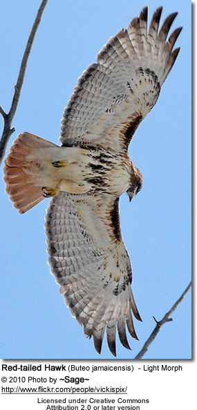 Red-tailed Hawk (Buteo jamaicensis) - Light Morph
