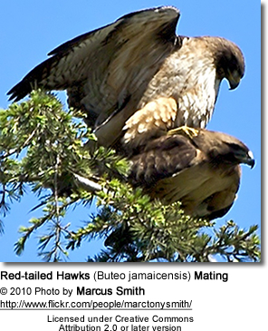 Red-tailed Hawks (Buteo jamaicensis) Mating