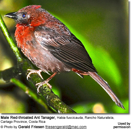 Male Red-throated tanager