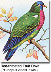 Red-throated Fruit Dove (Ptilinopus viridis lewisi)